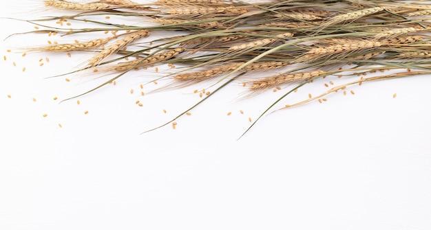 Les épis de blé et les grains de blé sont installés sur un fond en bois blanc. vue de dessus et espace de copie.