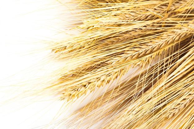 Épis de blé isolés