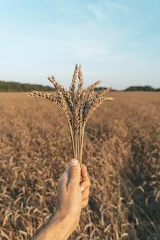 Épis de blé à la main dans le contexte d'un champ de blé d'été au coucher du soleil, agriculture agricole et ...