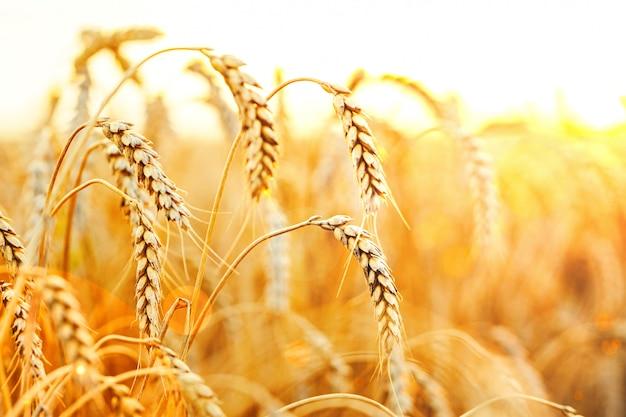 Épis de blé mûr au fond du coucher du soleil.