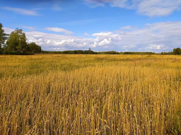 Épis de blé mûr à l'automne sur un grand champ sous un ciel bleu avec des nuages en sibérie