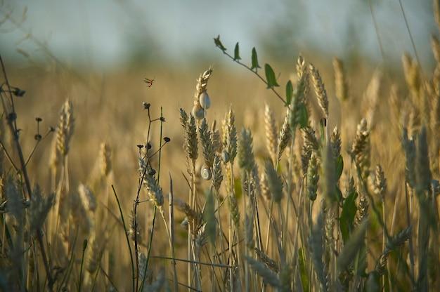 Épis de blé mûr dans un champ avec de petits escargots attachés. excellent arrière-plan ou ressource graphique.