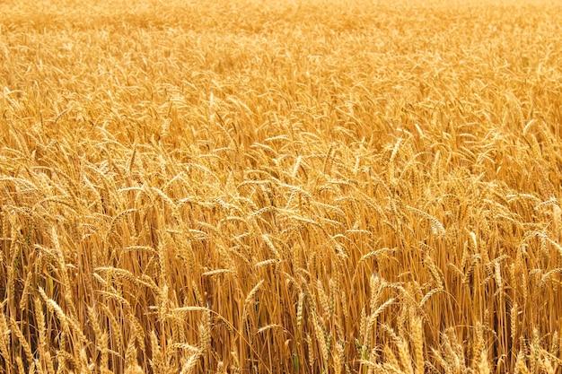 Épis de blé mûr poussant dans un champ de blé