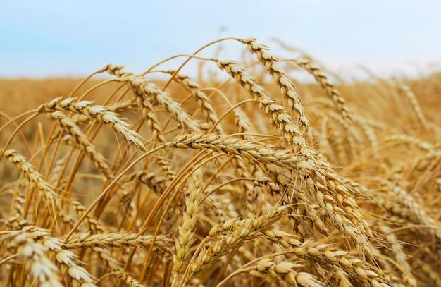 Épis de blé mûrs sur le champ de blé gros plan