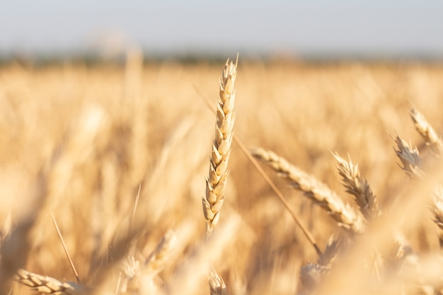 Épis de blé ou d'orge sur le terrain. bon concept de récolte, céréales, produit naturel. focus étroit