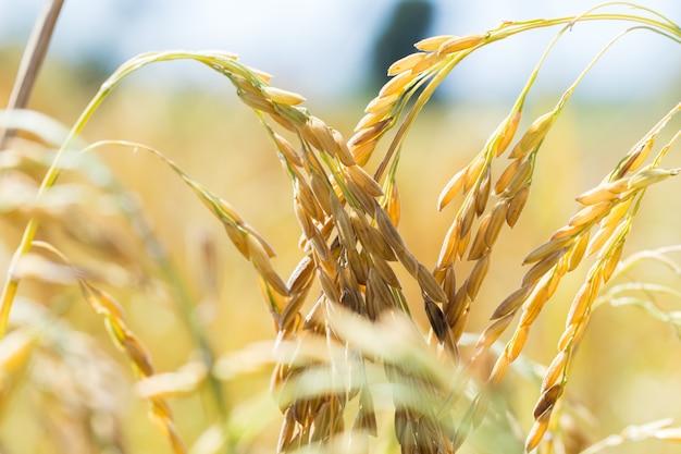 Épis de maïs dans un champ
