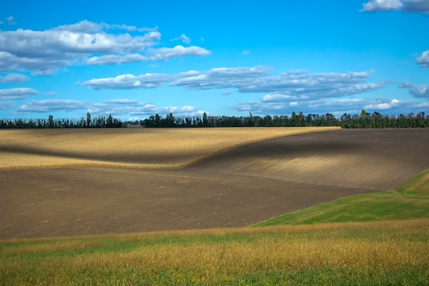Épis de maïs mûrs dans le champ, plein de gros grains, dans le ciel.