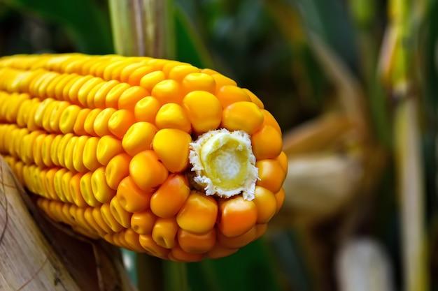 Épis de maïs, mûrs, pleins de grains dans le champ, avant la récolte