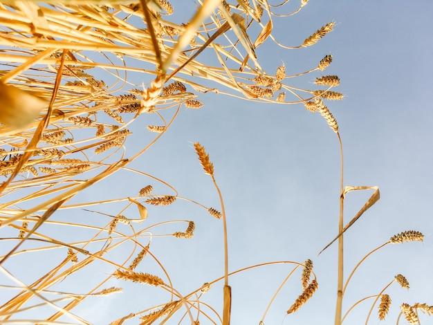 Épis d'or de blé dans le champ