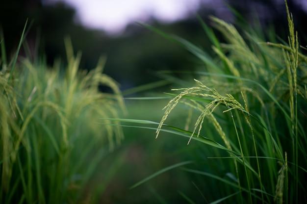 Les épis de riz au jasmin émergent verts et beaux. photos pour votre entreprise