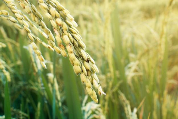 Épis de riz au lever du soleil.