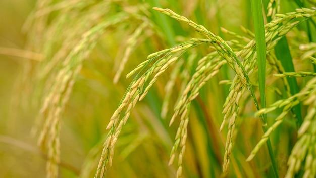 Épis de riz prêts à être récoltés