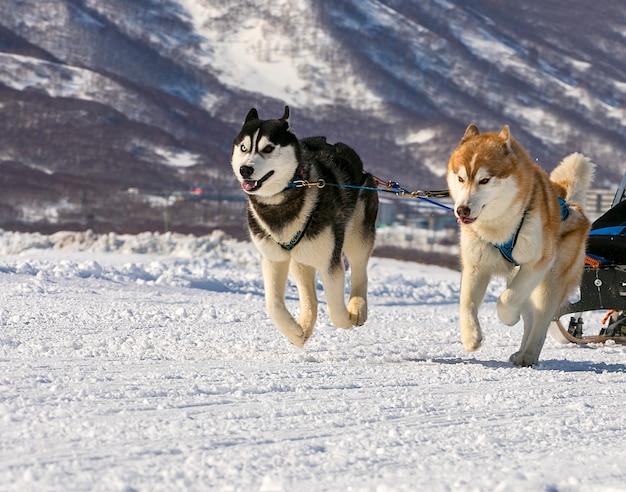 Équipe de chiens courant dans la neige au kamtchatka.