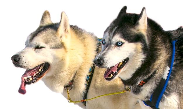 Équipe de chiens en cours d'exécution coupé sur fond blanc.