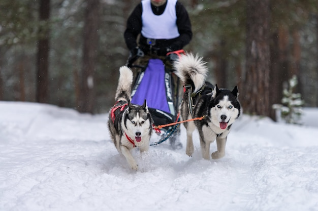 Équipe de chiens de traîneau husky en course de harnais et conducteur de chien de traction
