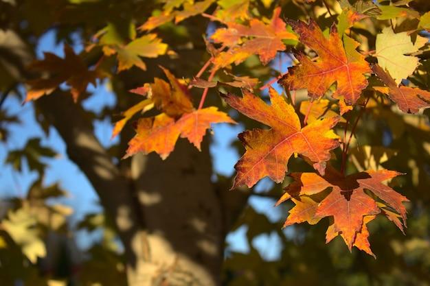 Érable d'automne avec des feuilles rouges et jaunes gros plan