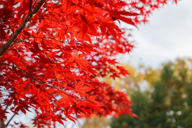 Érable rouge feuilles en automne avec le ciel bleu flou fond