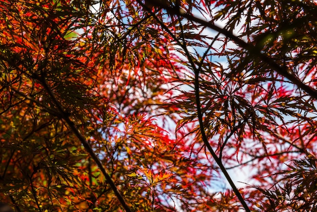 Érable rouge japonais à journée d'été ensoleillée dans le parc. petit grip