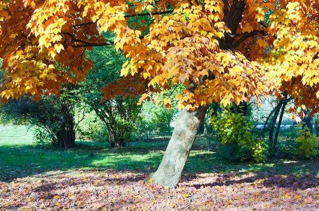 Érables d'automne dans le parc de la ville d'automne