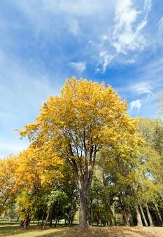 Les érables changent de couleur avec des feuilles jaunes en automne. emplacement dans le parc. ciel bleu en arrière-plan