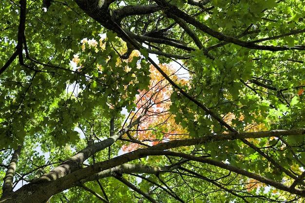 Érables pendant les changements de la saison d'automne, belle nature et les spécificités des saisons