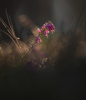 Erica plante tôt le matin dans la forêt