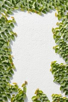 Escalade ficus pumila sur mur blanc