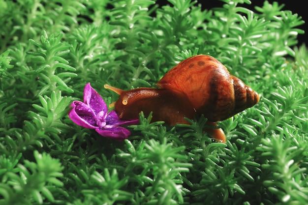 Escargot achatina rampant sur la mousse pour fleur lilas