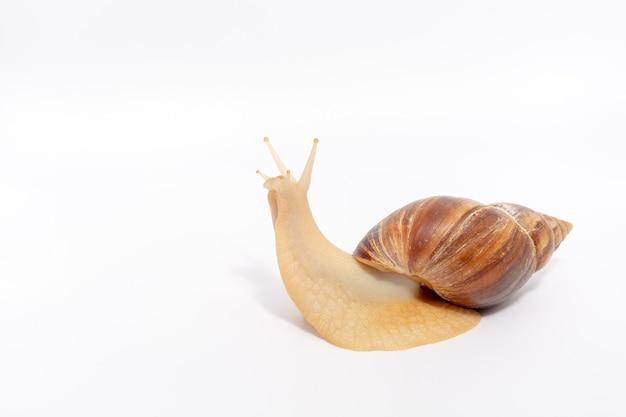 L'escargot achatina à la recherche, sur un blanc isolé.