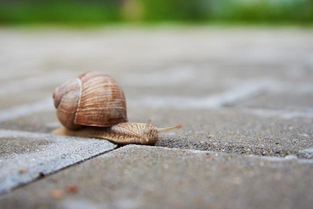 Escargot de bourgogne glissant sur l'asphalte
