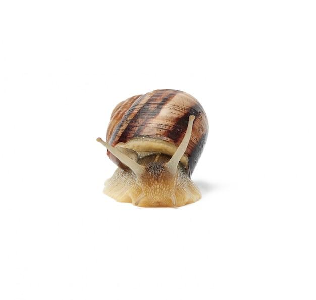 Escargot brun isolé sur espace blanc