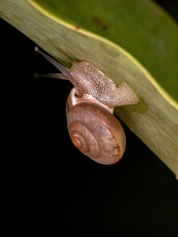 Escargot clochard asiatique de l'espèce bradybaena similaris