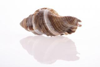 Escargot coquillage
