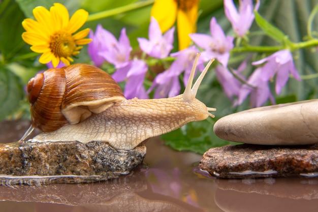L'escargot grimpe de pierre en pierre. mollusque et invertébré. viande de délicatesse et gastronomie.