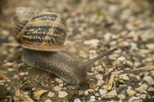 L'escargot lent se déplace en direction de la nourriture sur l'asphalte qui a pillé son territoire naturel