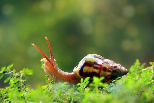 Escargot léopard vue de côté sur la mousse
