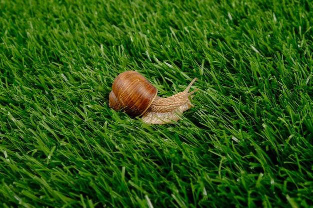 Escargot de raisin sur l'herbe verte, pelouse.