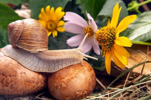 L'escargot de raisin rampe activement dans la nature. mollusque et invertébré. viande de délicatesse et gastronomie.