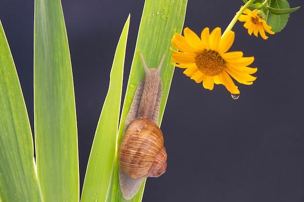 Escargot rampant sur une feuille verte dans le contexte d'une fleur jaune.