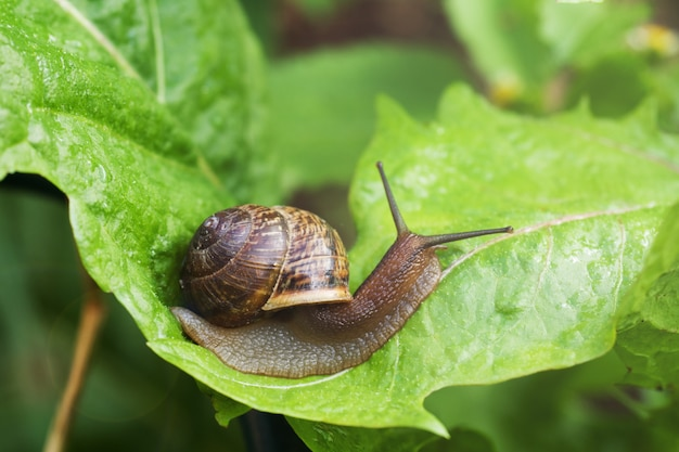 Escargot rampant sur une large feuille verte après la pluie,