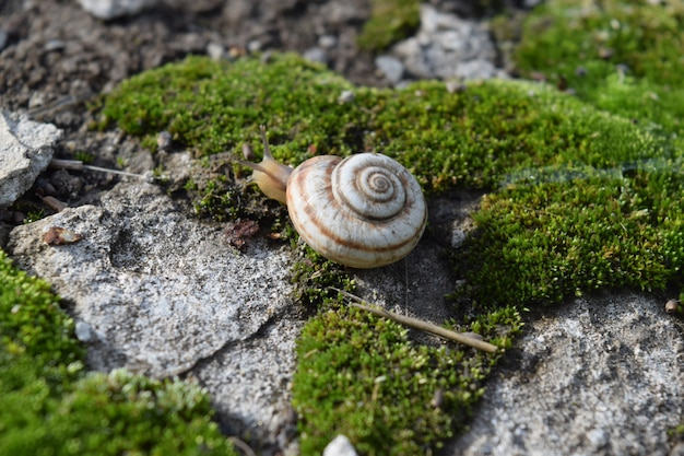 Escargot rampant sur la mousse. macrophotographie en milieu naturel.