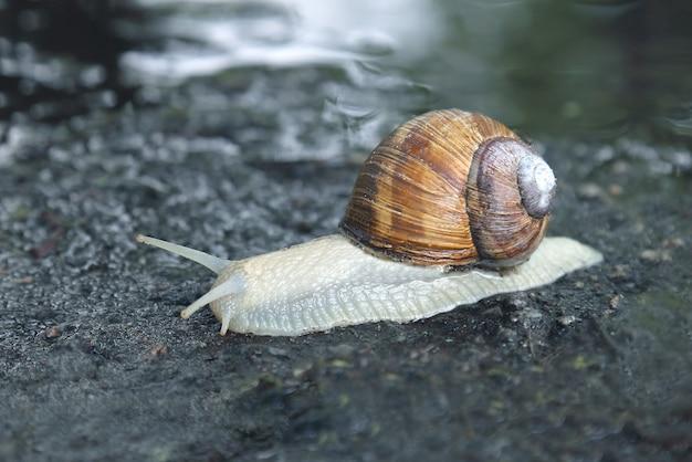 Escargot rampant sur la route mouillée. le monde animal