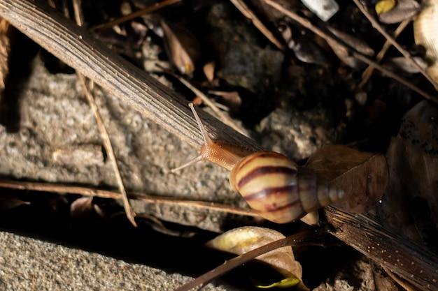 Escargot se déplace sur les braches