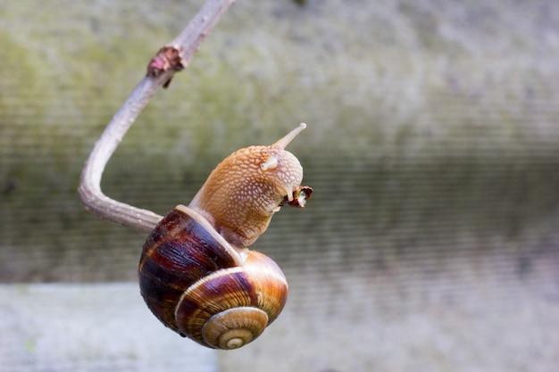 Escargot suspendu à une branche mince et le mange.