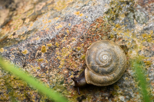 Escargot terrestre à respiration aérienne (corneola squamatina)