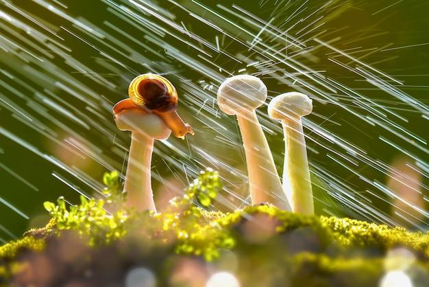 Escargots sur champignons quand il pleut