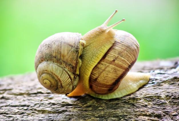 Escargots dans des conditions naturelles. mise au point sélective. la nature.
