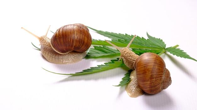 Escargots et feuille de cannabis, concept de soins de la peau