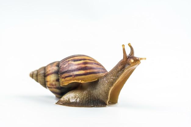 Escargots sur fond blanc