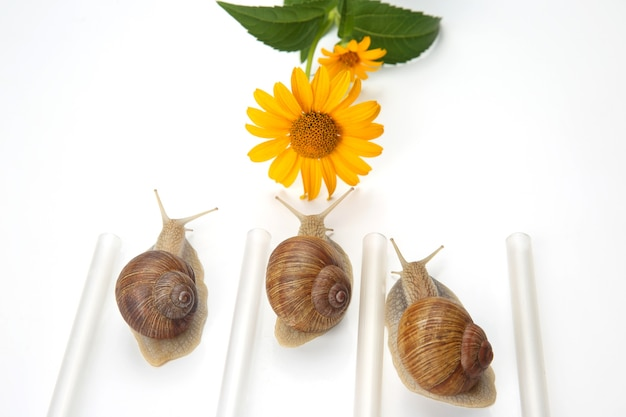 Les Escargots De Raisin Rampent Le Long De La Ligne Vers Les Fleurs. Mollusques Et Invertébrés Photo Premium